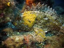 Yellow largescaled scorpionfish Royalty Free Stock Images