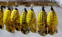 Yellow Larvae. A bunch of yellow larvae hanging from a twig royalty free stock photography