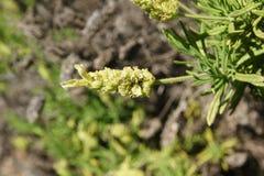 Yellow lavender, Lavandula viridis Stock Photography