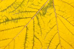 Yellow leaf. Structure of a yellow leaf close up, the autumn nature Royalty Free Stock Images
