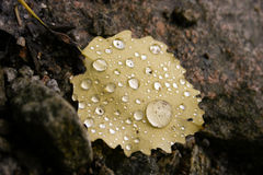 Yellow Leaf. A yellow birch leaf with droplets, lying on stones on the ground stock photography