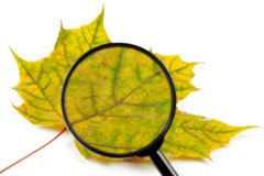 Yellow leaf Stock Photography