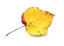 Yellow leaf. Isolated on the white background Stock Photography
