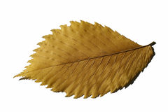 Yellow leaf. Autumn yellow leaf with little shadow on the white background (isolated on white Royalty Free Stock Image