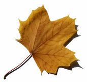 Yellow leaf. Autumn yellow leaf with little shadow on the white background (isolated on white Stock Photos