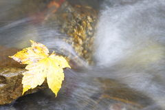 Yellow leaf. On wet stone at stream Stock Image