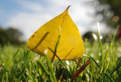 Yellow leaf. On the grass Stock Photo