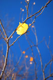 Yellow leaf. Yellow birch leaf with a blue sky Royalty Free Stock Photos