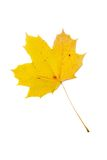 Yellow leaf. On whote background with light shadow Royalty Free Stock Images