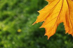 Yellow leaf. Picture of yellow leave on green background Stock Image