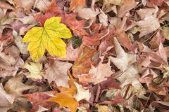 A Yellow Leaf Amongst a Carpet of Brown Leaves. Autumn scene of crisp brown Autumn leaves with a contrasting yellow leaf in top left corner royalty free stock image