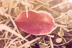 Yellow Leaf And Grass Hit By Autumn Frost, Toned Stock Images
