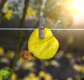 Yellow leaf of apricot hanging on clothesline Stock Photography