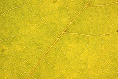 Yellow leaf. Arteries yellow leaf blade Royalty Free Stock Photo
