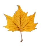 Yellow leaf as an autumn symbol  on white Royalty Free Stock Image