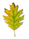Yellow leaf as an autumn symbol  on white Stock Photos