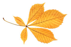 Yellow  leaf. Yellow autumn chestnut leaf   on white background Royalty Free Stock Photography