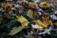 Yellow leaf autumn close up view macro laying in meadow. At park Stock Photo