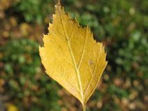 Autumn yellow leaf Stock Images