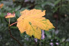 Yellow leaf. Autumn is here Royalty Free Stock Photo