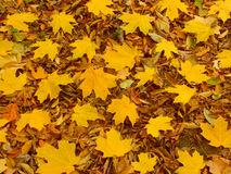 Yellow Leaf Background Royalty Free Stock Photos