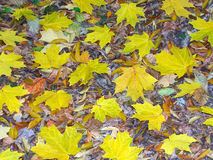 Yellow Leaf Background Royalty Free Stock Image