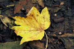 Yellow leaf Royalty Free Stock Images