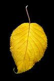 Yellow leaf, black background Royalty Free Stock Images