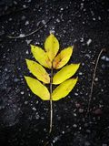 Yellow leaf on a black earth background, autumn leaf Royalty Free Stock Photography