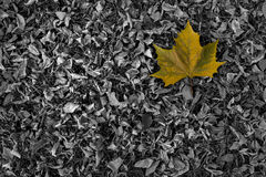 Yellow leaf on black and white background Stock Images
