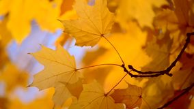 Yellow leaf on a branch on background of blurred yellow leaves close-up. Yellow leaf on branch on background of blurred yellow leaves and blue sky close-up stock video footage