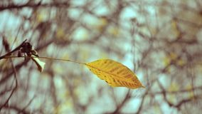 Yellow leaf on a branch on background of blurred yellow leaves close-up stock video