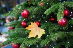 Yellow leaf on a branch of Christmas tree Stock Image