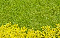Yellow leaf bush in front of green grass Royalty Free Stock Images