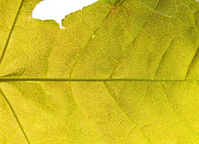 Yellow leaf cell structure Royalty Free Stock Image