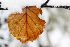 Yellow leaf close-up it`s snowing snow, water, autumn snowy Stock Photo