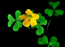 Yellow Leaf Clover Royalty Free Stock Photos