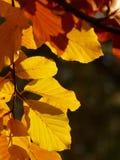 Yellow, Leaf, Deciduous, Autumn Royalty Free Stock Photos