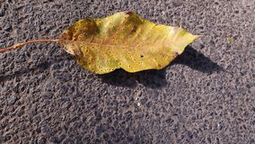 Yellow leaf with dots caused by plant disease. Single dry leaf of walnut tree on rough asphalt background with bright sunlight. Fall season backdrop. Minimal royalty free stock images