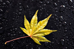 Yellow Leaf and Drops. A red Japanese Maple leaf among raindrops royalty free stock photos