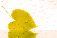 Leaf with drops of water royalty free stock images