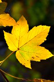 Yellow leaf in the fall Stock Images