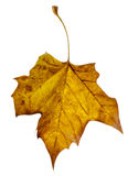 Yellow Leaf Falling Royalty Free Stock Photography