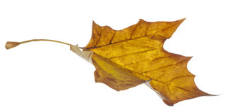 Yellow Leaf Falling Stock Image