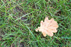 Yellow leaf fell on the green grass. Early autumn. Тop view Royalty Free Stock Photography