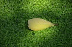 Yellow leaf floating green seaweed Royalty Free Stock Image