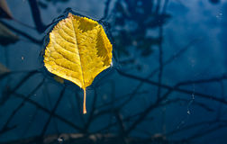 Yellow leaf floating in water Royalty Free Stock Image