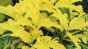 Yellow leaf flower in the garden. Photography Royalty Free Stock Photo