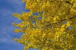 Yellow leaf Ginkgo Stock Image