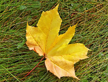Yellow leaf on the grass. Royalty Free Stock Image